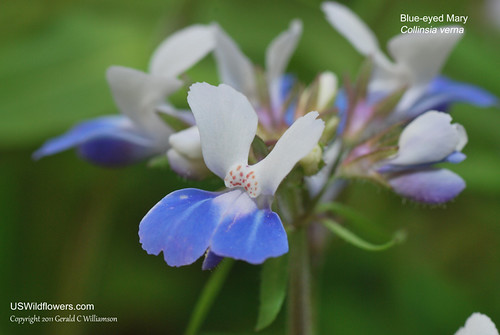 Blue Eyed Mary, Spring Blue-eyed Mary, Eastern Blue Eyed Mary, Innocence, Lady-by-the-Lake - Collinsia verna