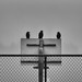Crows on the court