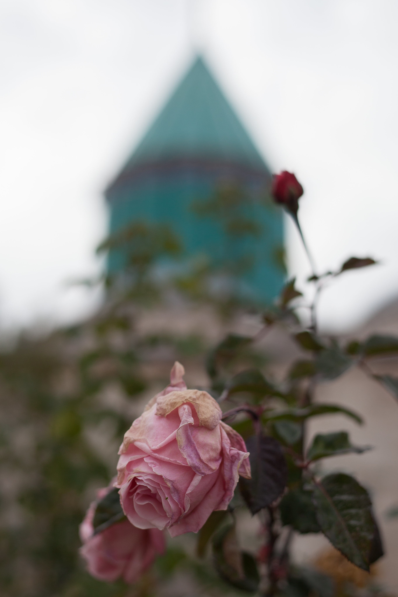 Roses in the garden round Rumi's grave