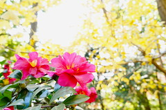 camellia and yellow leaves