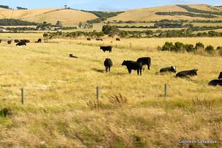australia-cows.jpg