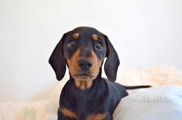 Oscar the miniature dachshund puppy - milk bubble tea blog