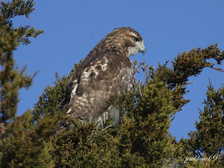 """Red-tailed Hawk"" ""Buteo jamaicensis"""