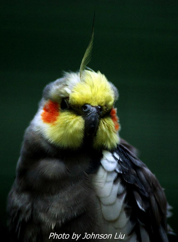 玄鳳鸚鵡 一張流