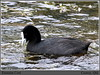 Eurasian Coot - Fulica altra - Cooroy, Qld. by grayham3