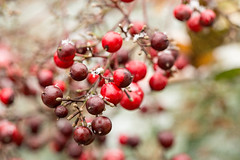 Nandina berries in the winter