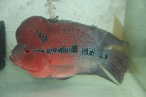 Marziyas Red Dragon Flowerhorn by firoze shakir photographerno1