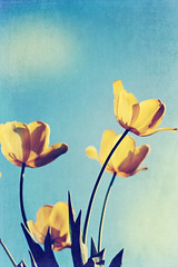yellow tulips
