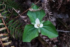 Trillium Albidum Means Northwest Spring is Sprung