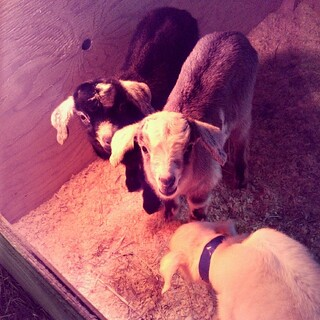 I'm in love with these two little 4 day old #babygoats ! Especially that brown guy in the middle. #goats #toocute #newhampshire #farm #love