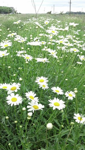 just daisies