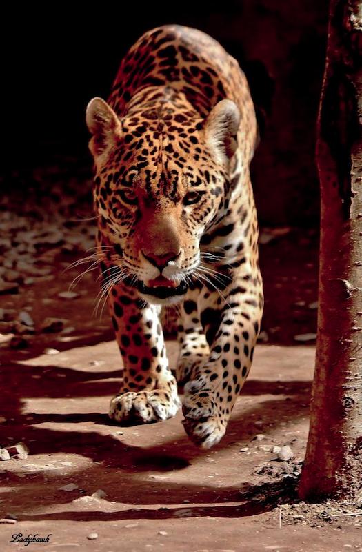felidae 13514522464_9e97fabc33_o