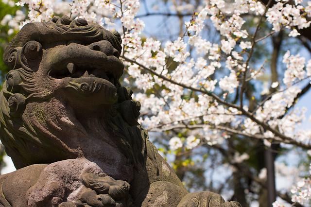 多摩川浅間神社境内の桜