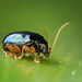 Chrysomelidae: Eumolpinae by Techuser