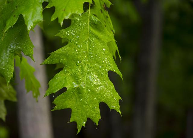 Oak Leaf Study