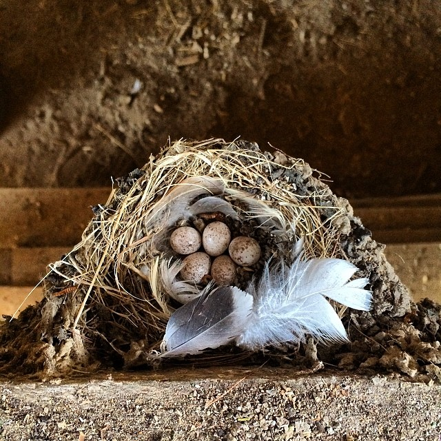 Barn swallow nest.