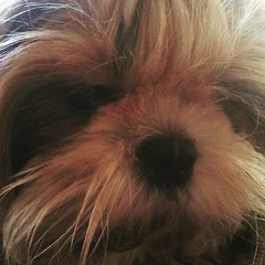 #HersheyShihTzu showing her sad face □□□ #cute #shihtzu #shihtzusofinstagramuse #shihtzusofinstagram #ShihTzuPhilippines