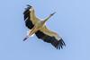 Stork in flight