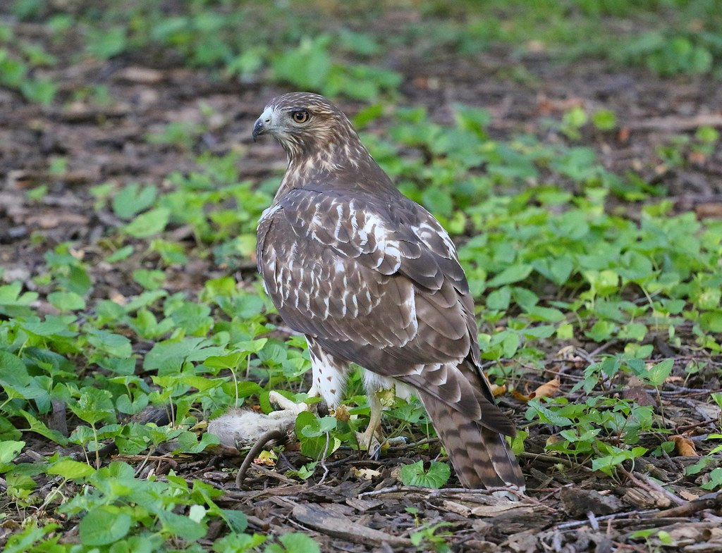 Fledgling with rat in Tompkins Square