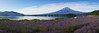 Lavender Flowers with Fujisan