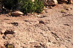 Sauropod dinosaur trackway (Morrison Formation, Upper Jurassic; Copper Ridge Dinosaur Tracksite, Grand County, Utah, USA) 19