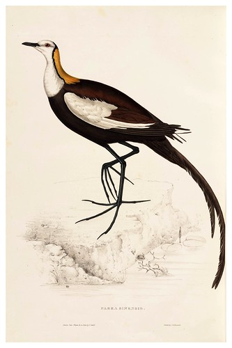 012-Parra Sinensis-A Century of Birds from the Himalaya Mountains-John Gould y Wm. Hart-1875-1888-Science Naturalis