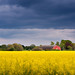 Rapeseed field by Kristian Ohlsson