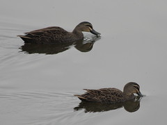Pacific Black Duck at Ascot Waters 2