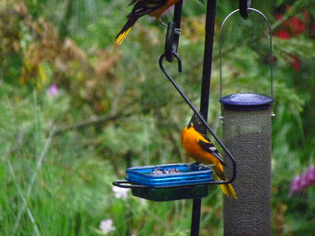 Oriole fight2 6:27:13