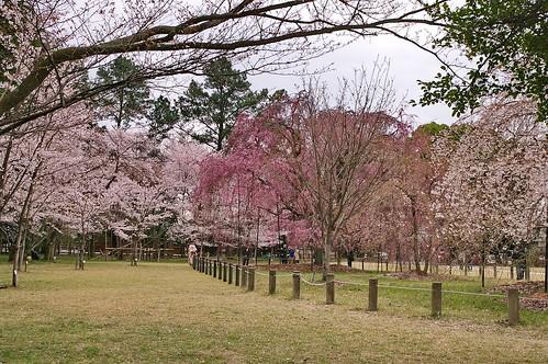 【写真】2013 桜 : 上賀茂神社/2020-09-09/IMGP9530