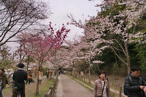 【写真】2013 桜 : 哲学の道/2018-12-24/IMGP9191