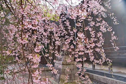 【写真】桜 : 向日神社