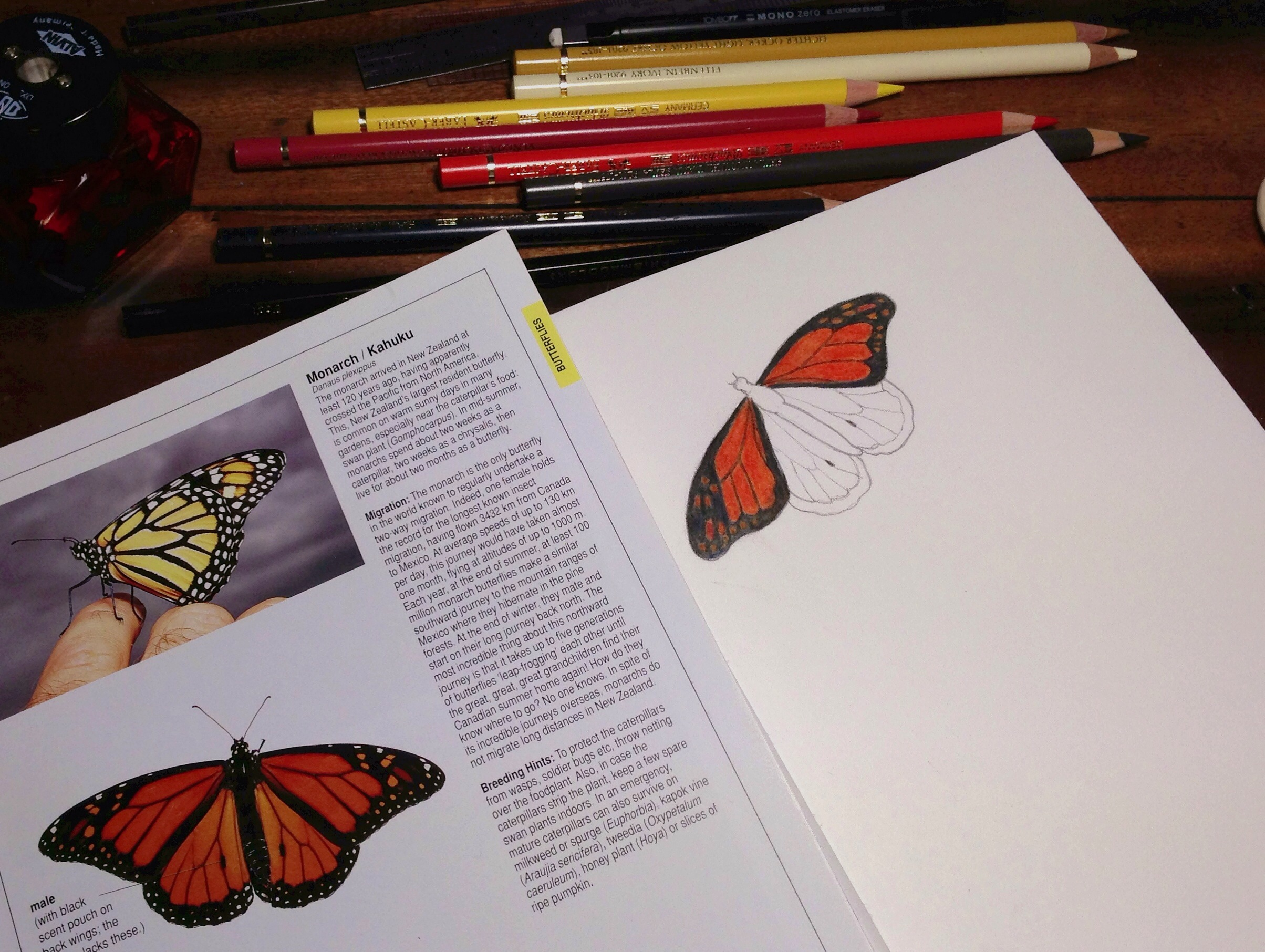 Working on a drawing of a Monarch Butterfly