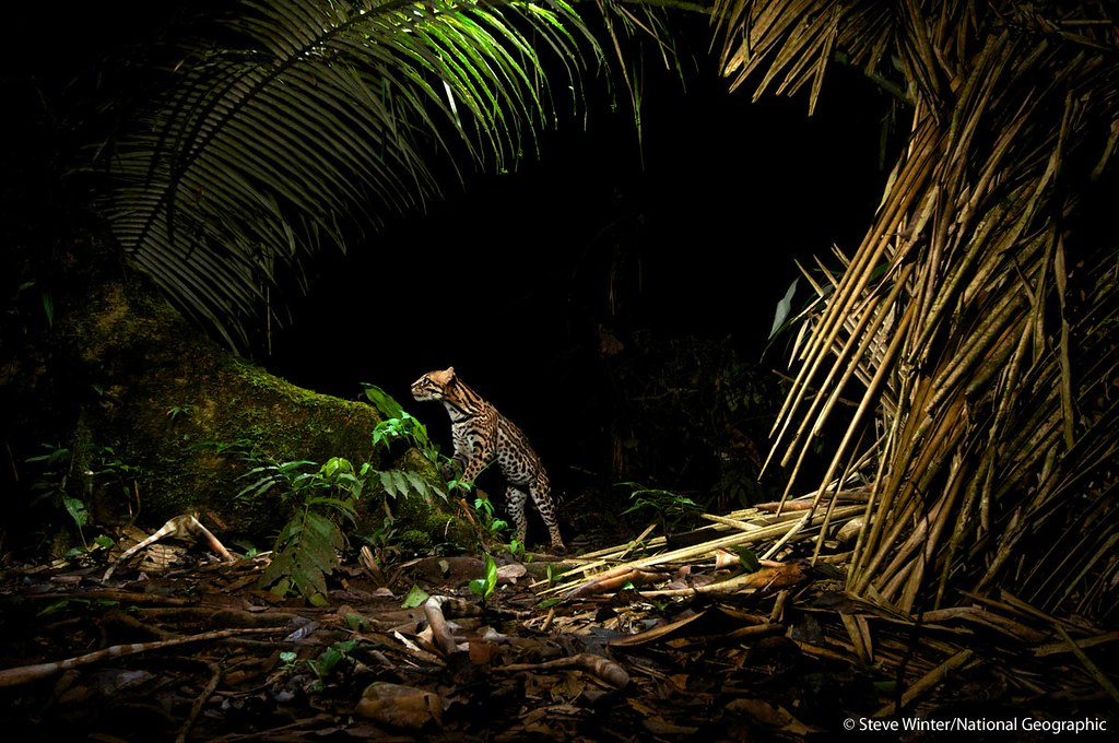 Curious Ocelot passing by a camera trap in Ecuador's Yasuní National Park
