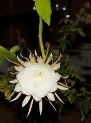 flower, yellow, plant, flora, epiphyllum oxypetalum,