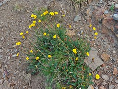 Yankee Boy Basin Pretty Yellow Wildflowers