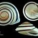 chloraea fibula2 philippines20mm6 by MALACOLLECTION Landshells Freshwater Gastropods