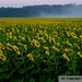 Sunflowers by DaveHook