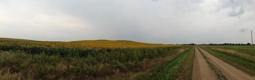 sunflowers IMG_0476