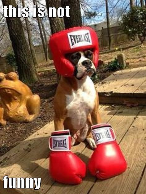 Funny Boxer Dog Meme : Boxer dog flickr photo sharing