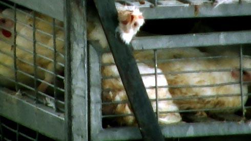 זוגלובק - ראש של תרנגול שנלכד בין הסורגים
