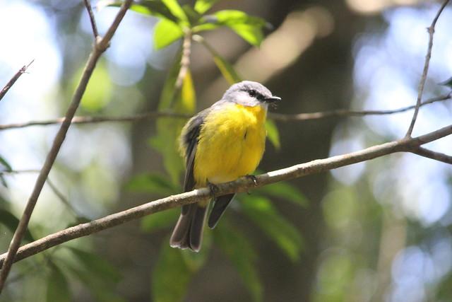 !eastern yellow robin