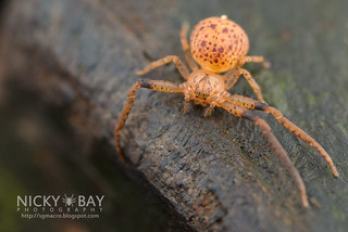 Crab Spider (Pharta sp.) - DSC_8629