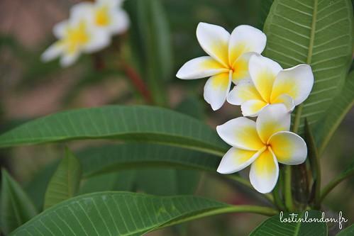 fleur de tiare