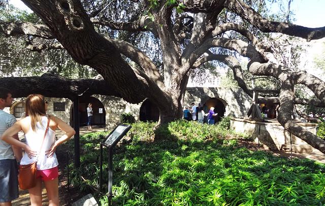 alamo-tree