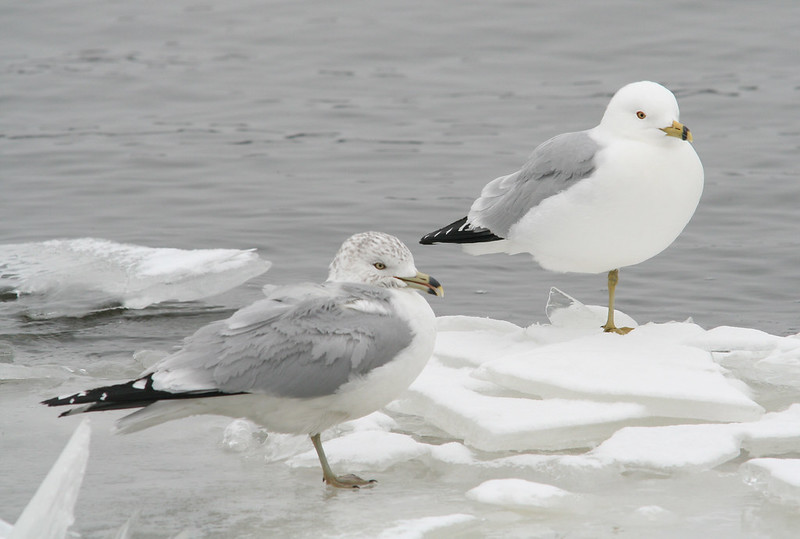 ring-billed gulls on ice 04