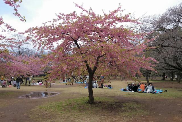 blossom in yoyogi park