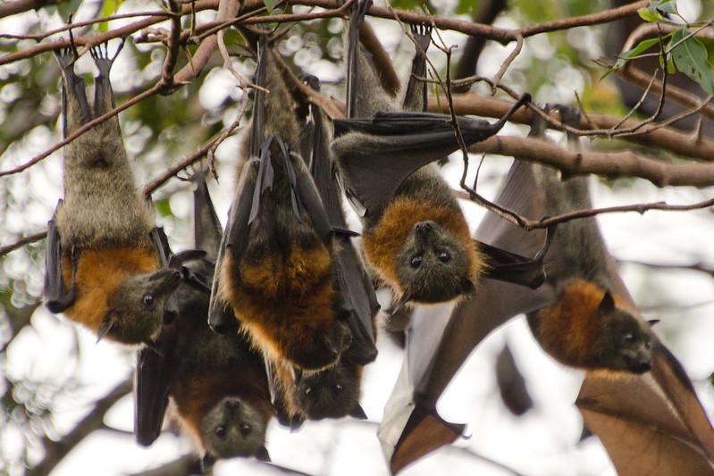 Boonah Bats