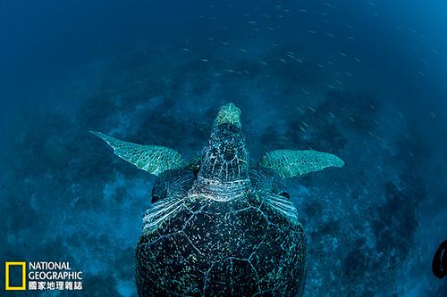 歐羅帕島 一隻母綠蠵龜被牠的伴侶緊擁在懷,漂游在歐羅帕環礁的湛藍海域。這裡是瀕危的綠蠵龜重要的繁殖區。攝影:Thomas P. Peschak;圖片提供:《國家地理》雜誌2014年4月號