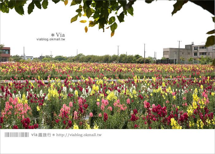 【向陽農場】賞花一日遊~[金魚草彩虹花田]繽紛盛開‧幸福賞花去!29